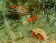 adult and immature thrips