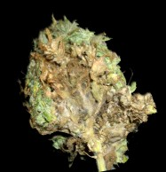 Bud Rot on a Cannabis Marijuana bud
