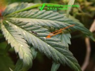 thrips damage on cannabis plants